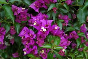 flor de la buganvilla